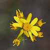 Arrow Leaved Groundsel (Senecio triangularis)