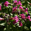 Purple Monkey Flower (Mimulus  lewisii)