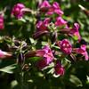 Purple Monkey Flower (Mimulus  lewisii)