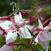 River Beauty, Alpine Fireweed, (Epilobium latifolium) Rare White version