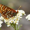 Zerene Fritilary Butterfly (Speyera zerene) on Yarrow Flowers (Achillea millefolium)