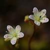 Spotted Saxifrage (Saxifraga bronchialis)