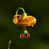 Columbia Lily, Tiger Lily (Lilium columbianum)