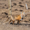 Red Fox (Vulpes vulpes) with freshly caught gopher.