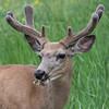 Mule Deer  (Odocoileus hemionus) buck.