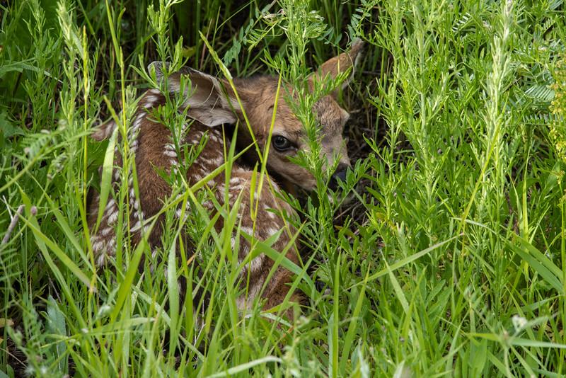 Mule Deer  (Odocoileus hemionus) Fawn hidden in deep grass.