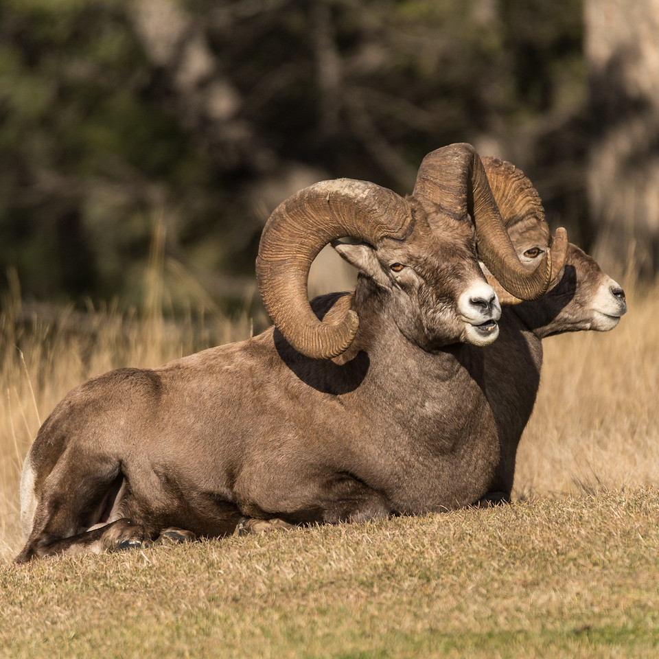 Big Horn Rams taking a break from rutting activities  (Ovis canadensis)