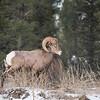 Big Horn Ram (Ovis canadensis)
