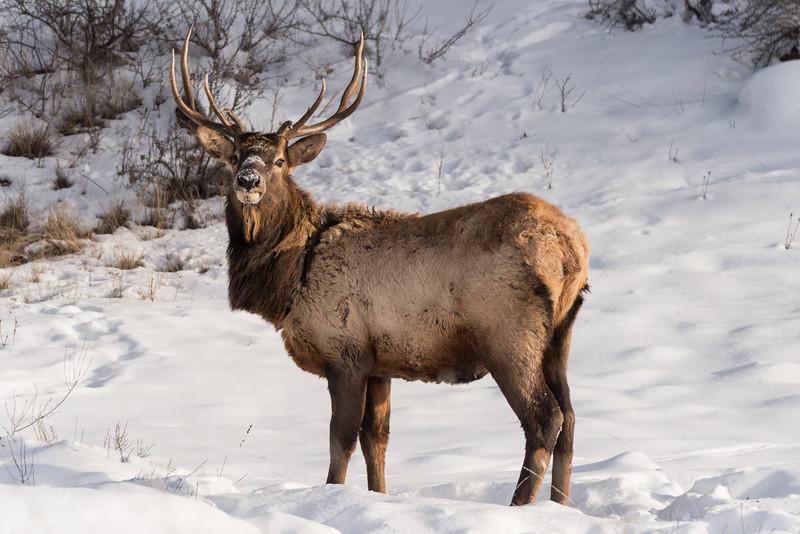 Bull Elk (Cervus canadensis)