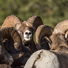 Big Horn Rams in a rutting scrum  (Ovis canadensis)