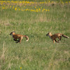 Red Fox pups playing (Vulpes vulpes)