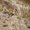 White-tailed Jackrabbit (Lepus townsendi)