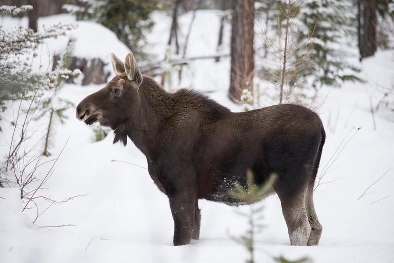 Moose Calf (Alces alces)
