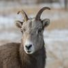 Big Horn Ewe (Ovis canadensis)