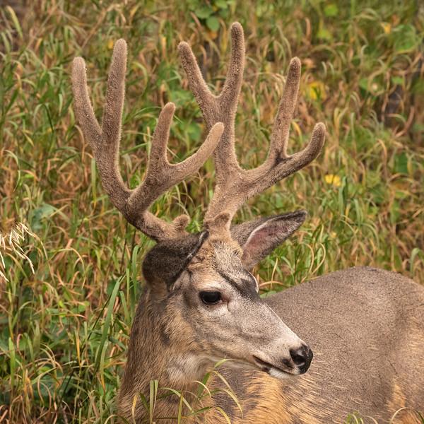 Mule Deer  (Odocoileus hemionus) with antlers in velvet.
