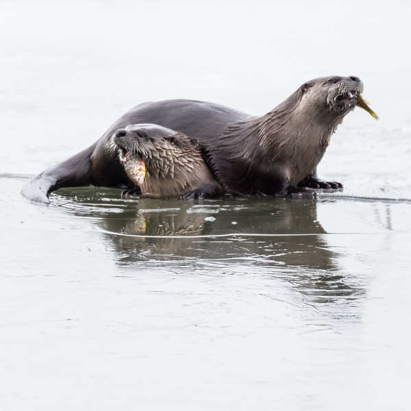 River Otters (Loutra canadensis) with freshly caught Perch.