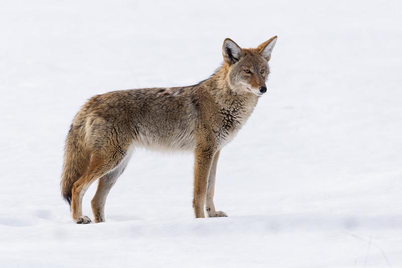 Coyote ( Canis latrans)