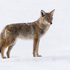 Coyote ( Canis latrans)