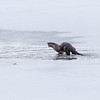River Otters (Lutra canadensis) with a fish.