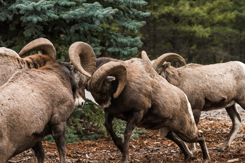 Big Horn Rams head butting  (Ovis canadensis)