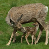 Mule Deer  (Odocoileus hemionus) and nursing fawn