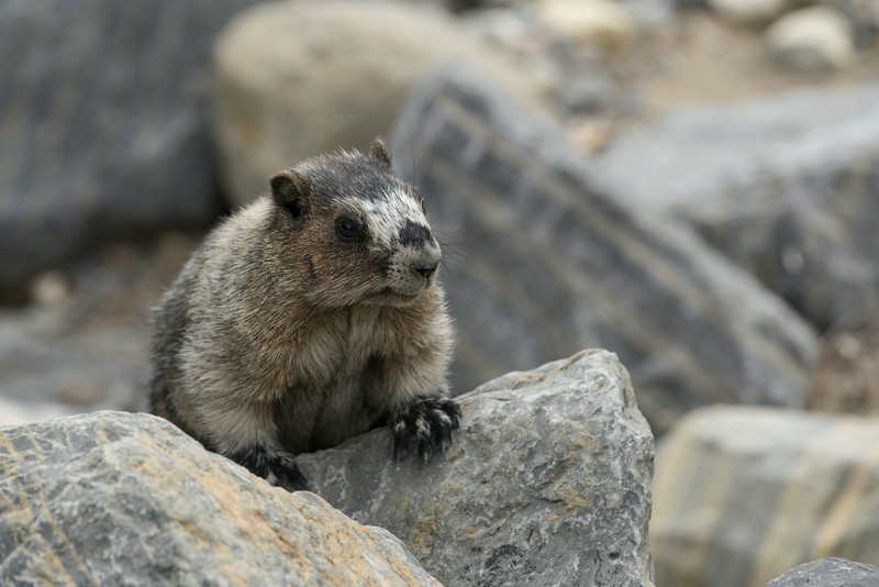 Young Hoary Marmot