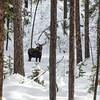 Bull Moose (Alces alces)