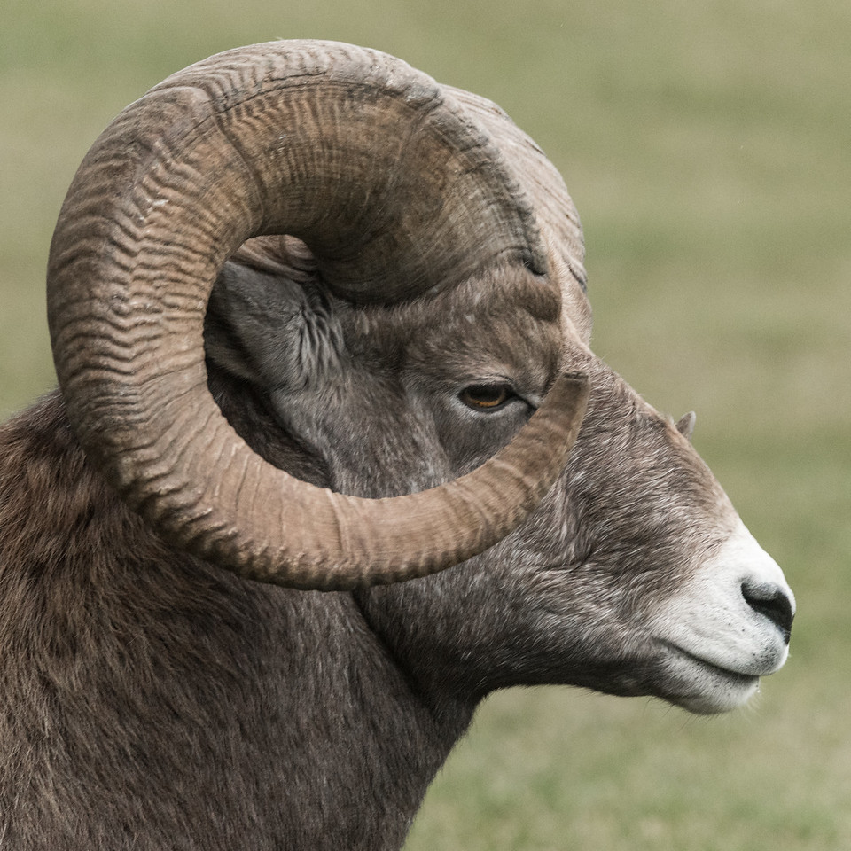 Big Horn Ram with a full curl  (Ovis canadensis)