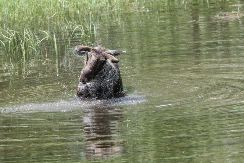 Bull Moose (Alces alces) shaking the water off its head after feeding.