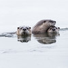 River Otters (Loutra canadensis) family group.