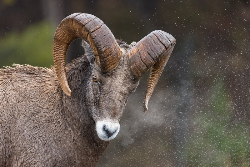 Big Horn Ram in a rain storm (Ovis canadensis)