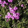 Creeping Phlox<br /> March 12, 2014