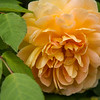 Molineux Rose<br /> March 31, 2014