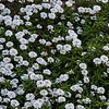 Candytuft<br /> March 12, 2014