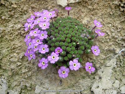 Dionysia x microphylla 'Mischa'