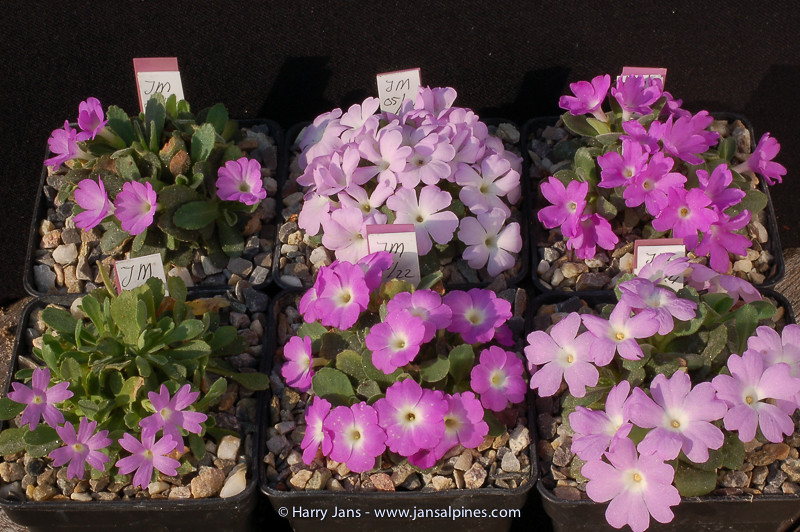 Primula allionii (all wild collected forms)