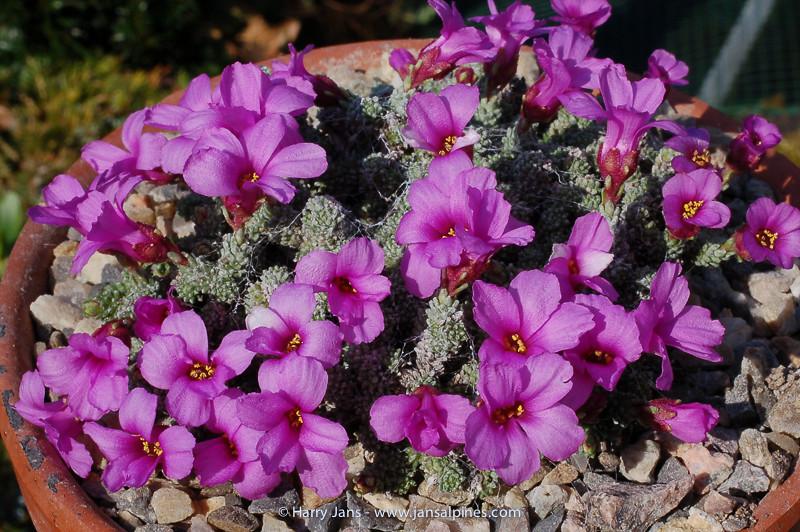 Saxifraga columnaris (org VH)