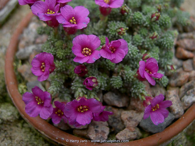 Saxifraga columnaris (org V.Holubec)