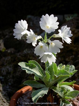 Primula marginata 'Casterino'