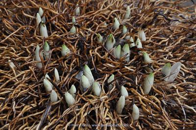 Cypripedium roots