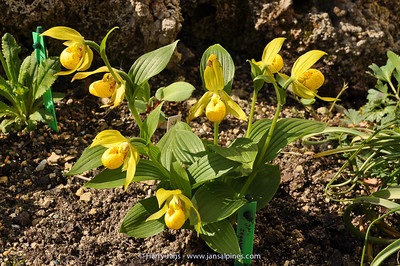 Cypripedium segawai
