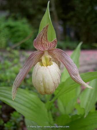 Cypripedium (hybr. Michel W.)