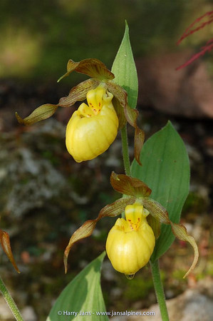 Cypripedium parviflorum ssp. pubescens