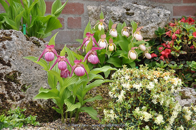 Cypripedium (back garden)