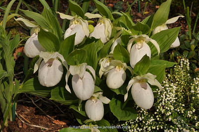 Cypripedium 'Sabine White'
