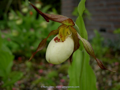 Cypripedium hybride (Michael.W.)