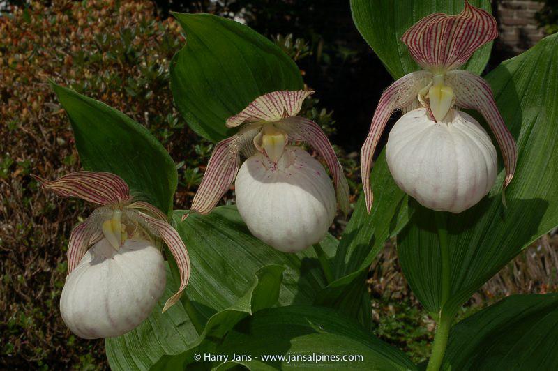 Cypripedium 'Sabine' (fasciolatum x macranthos) clone 1