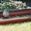 Bathing sparrow