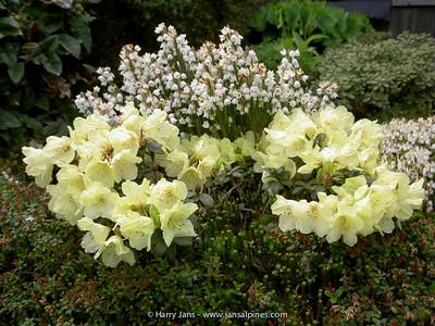 Rhododendrom 'Wren'