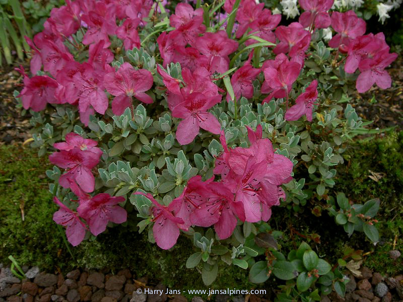 Rhododendrom 'Giha'